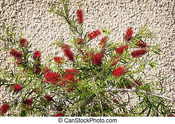 Bottle Brush Tree - Bright red flower of a bottle brush tree...