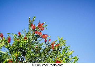 Bottle brush tree exotic flowers - Australian native red ...