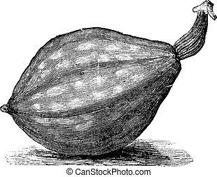 Bottle gourd or Lagenaria siceraria vintage engraving -...