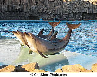 Tursiops truncatus - Bottle-nosed dolphins Tursiops ...