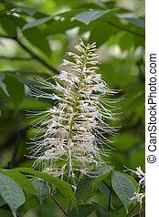 Bottlebrush buckeye - Latin name - Aesculus parviflora