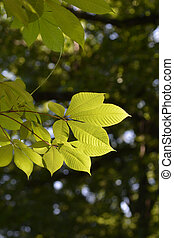 Bottlebrush buckeye leaves - Latin name - Aesculus ...