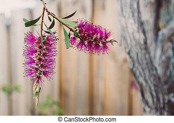 bottlebrush, callistemon, australien, rose, plante, indigène, extérieur