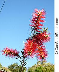 Bottlebrush Flower - Beautiful blooming Bottlebrush branch ...