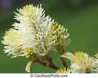 Bottlebrush flower - Bottle brush fothergilla major flower ...