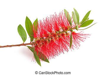 bottlebrush flower ( callistemon) - bottlebrush flower ...