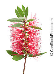 bottlebrush flower ( callistemon) - Crimson bottlebrush ...