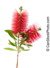 bottlebrush flower ( callistemon)