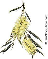 Bottlebrush Flowering yellow Vector