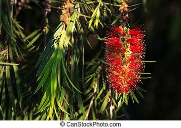 Bottlebrush leaves and Flower - Bottle brush leaves and ...