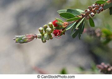 Bottlebrush Red Star - Latin name - Callistemon viminalis ...