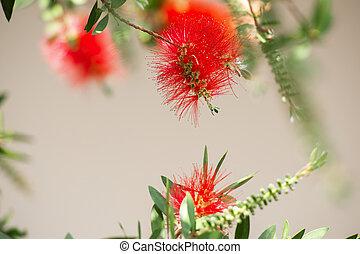 Bottlebrush tree also known as Callistemon. - Bottlebrush ...