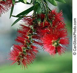 Bottlebrush Tree Flower