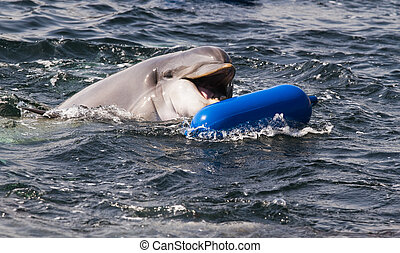 Bottlenose dolphin or Tursiops truncatus playing in the ...