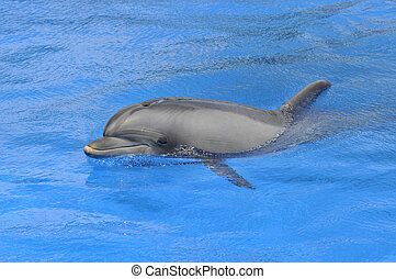 Bottlenose dolphin (Tursiops truncatus) viewef of profile swimming in the blue water
