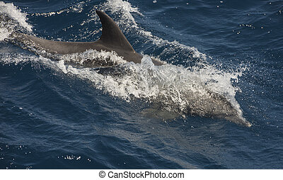 Bottlenose dolphin tursiops truncatus surfing waves swimming and breaching on surface of open sea ocean