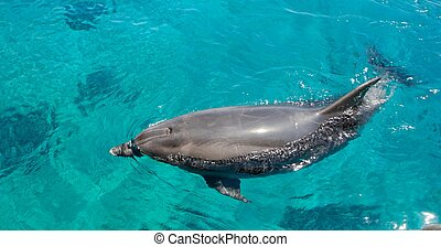 Bottlenose dolphin swims in the green sea