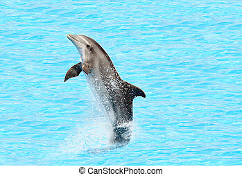 bottlenose dolphin ( Tursiops truncatus) performing a tail ...