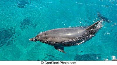 bottlenose, nada, delfín, verde, mar