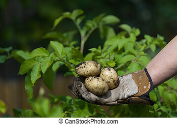 Bottom of image a gloved hand shows fresh muddy potatoes, green