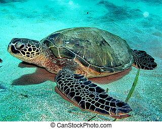 Bottom turtle - Hawaiian Green sea turtle on sandy bottom