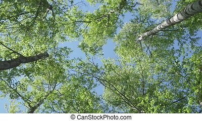 bottom view from the rotating camera on tops of birches against the background of the blue sky