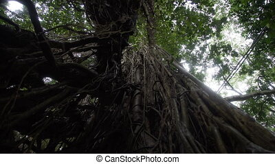 Bottom view of old tree Rainforest in Bali Indonesia - Old...