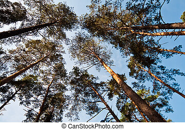 Bottom view of pine trees forest