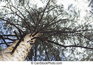 Bottom view of tall old pine trees in the forest.
