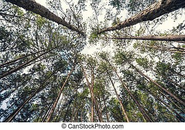 Bottom view of tall old trees in evergreen Pine Forest, Vintage color effect.