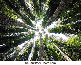 Bottom view of tall old trees in evergreen primeval forest. Gargano Peninsula, Puglia. Italy.