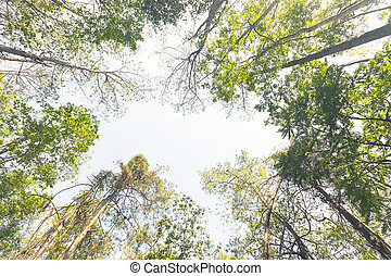Bottom view of tall old trees in green forest