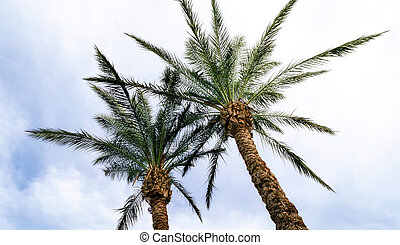bottom view of tall palm trees