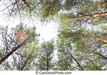 Bottom view of tall pine trees in evergreen primeval forest