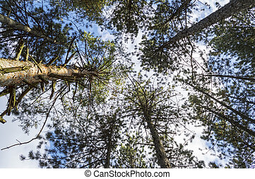 Bottom view of tall pine trees  of evergreen forest in autumn