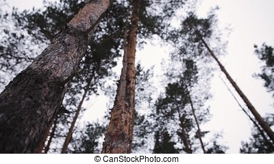 Bottom view of the pine trees against the cloudy sky. Trees in a forest. Looking Up. Forest Sky