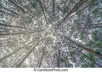 Bottom view of trunks trees in a pine forest