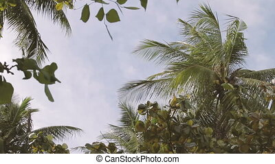 Bottom view on palm tree branches swaying in the wind....