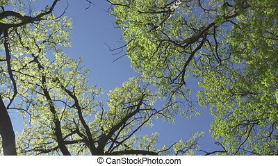 bottom view on trees with young green foliage in the early...