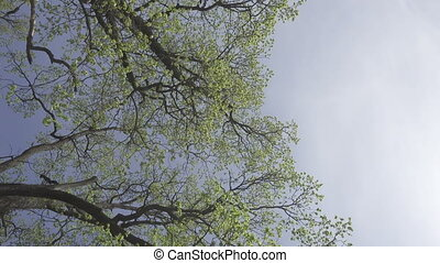 bottom view on trees with young green foliage in the early spring against the background of the blue sky