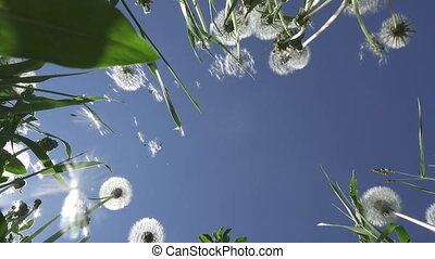 bottom view on white dandelion field in summer sunny day against the background of the sky with white clouds