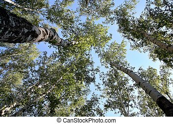 Bottom view trunks of birch trees stretching up