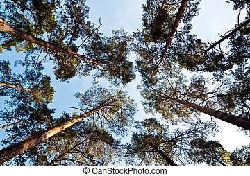 Bottom wide view of pine trees