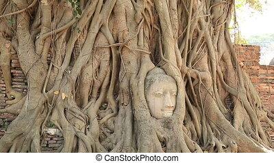 bouddha, tête, racines, arbre