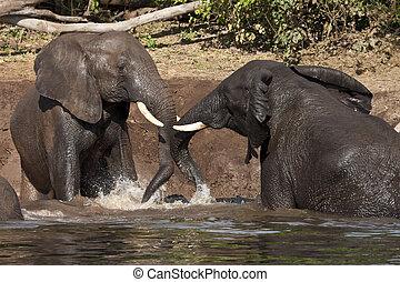 boue, éléphant, -, botswana, bain