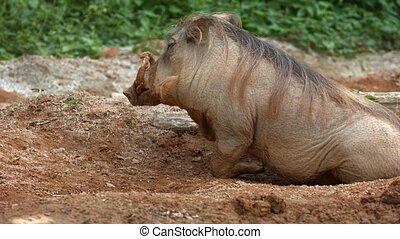 boue, solitaire, désert, warthog