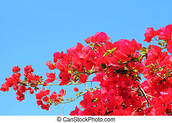 Bougainvillaea Against Blue Sky Background - Bougainvillaea...
