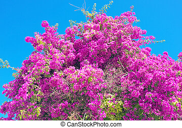 Bougainvillea against a blue sky