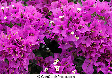 Bougainvillea Background - Close-up backdrop of beautiful...