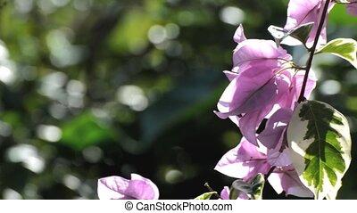 bougainvillea, bloem